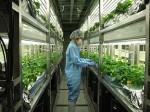 完全人工光型植物工場による遺伝子組換えイチゴ。イヌの歯肉炎軽減剤が動物用医薬品として認可