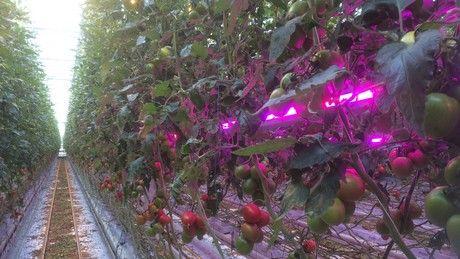 ドイツUNION POWER STAR 社、ハウス栽培の収量を30〜40%増加させるLEDライトを開発