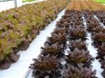 米国NYの農業ビジネス最前線・市場ニーズに合わせた生産品目の切り替え(ガブリエルセン・ファーム)