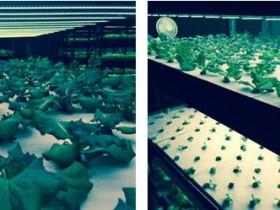 日本アドバンストアグリ、3波長型ワイドバンドLEDを植物育成用照明としてアメリカ市場へ販売