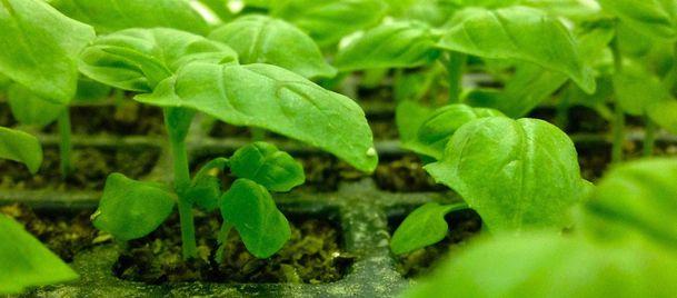 アラスカ初の商業ベース・完全人工光型植物工場による野菜の初出荷