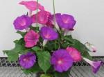 アサガオから花の寿命を調節する遺伝子を発見、切り花の長期保存技術への応用も