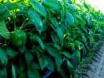 住友化学、米デュポン社の農業用殺虫剤「Asanaアサナ」事業を買収