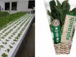 三菱樹脂、オーストラリアで植物工場産野菜を生産・販売する現地法人を設立