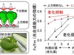 千葉大学、植物工場における葉の老化抑制を実現する新たな植物栽培システムを開発