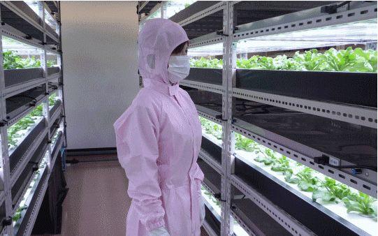 長野県だけでなく富山でも植物工場を運営する企業が増加。京都府立(医科大)でも、産学連携プロジェクトがスタート