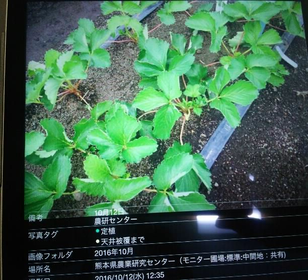 イチゴ新品種「ゆうべに」、JAグループ熊本が位置情報活用クラウド「cyzen」を導入開始