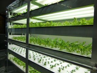 小型植物工場「汐留菜園」での収穫イベント(電通ファシリティマネジメント)