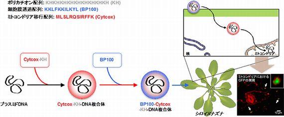 理研、植物ミトコンドリアへ選択的に遺伝子導入する手法を開発