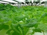 沖縄でも就労支援型植物工場による低カリウムレタスを生産