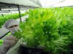 植物工場システムの市場規模、2013年度で約300億円にまで拡大