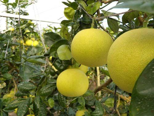 中国の中秋節にて、台湾の文旦(果物)の出荷がピークを迎え、今年は輸出量も5000トンにまで拡大