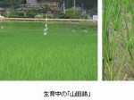 「獺祭」の旭酒造が富士通のITクラウド農業を活用しながら原料生産へ
