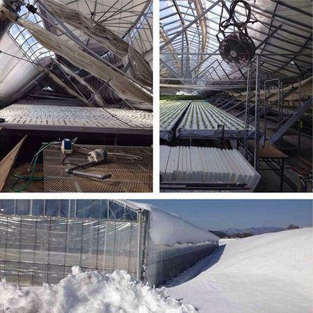 大雪で倒壊したハウス再建、八ヶ岳高原水耕ほうれん草・トマトファンドを設立(本多園芸)