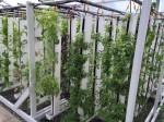 水不足のカリフォルニア州にて新たな都市型CSA農業モデルを実践。水耕栽培・アクアポニクスによる新技術導入