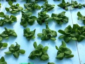 セプトアグリ、従来の養液循環システムに代わる新たな水耕栽培方式を提案
