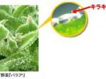 東洋新薬、佐賀大アイスプラントのバラフに保湿作用を確認