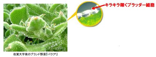 東洋新薬、佐賀大アイスプラントのバラフの保湿機能を細かく評価