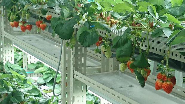 いちごカンパニー、イチゴの植物工場にて同一株から2年以上の収穫に成功