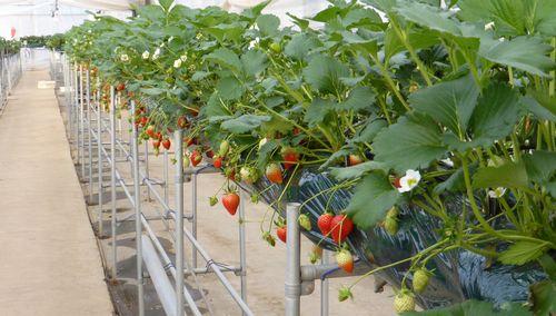 施設見学・解説プログラム『低コスト型・イチゴ栽培施設(太陽光利用型施設)』