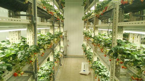 LED型植物工場による生産システムの確立へ