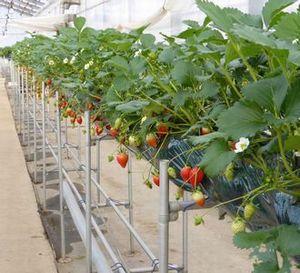 学生インターンの募集 栽培指導 植物工場イチゴ