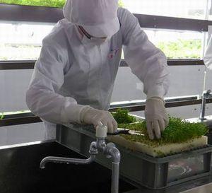 学生インターンの募集 人工光植物工場 栽培指導