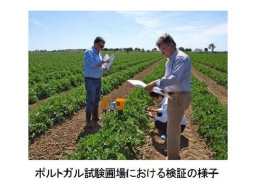 カゴメ、NECと共同で最先端の加工用トマト栽培技術の開発に着手。ポルトガル試験農場では1ha・146トンを達成