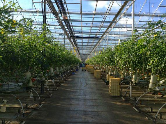 福島・南相馬に太陽利用型植物工場が稼働 カゴメの技術指導と全量買取