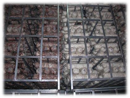 中国山東省における近代化されたキノコ植物工場