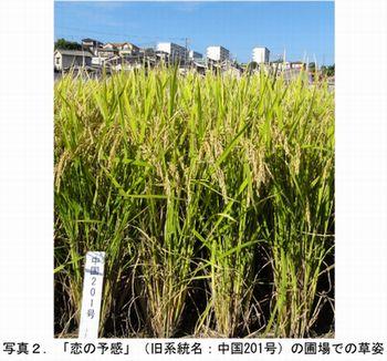 近畿中国四国農業研究センター、新たな高温耐性・多収品種として水稲「恋の予感」を開発