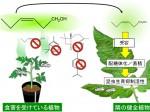 外的ストレス・害虫に対するトマトの自己防衛システムを特定
