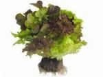 lettuce_nara8