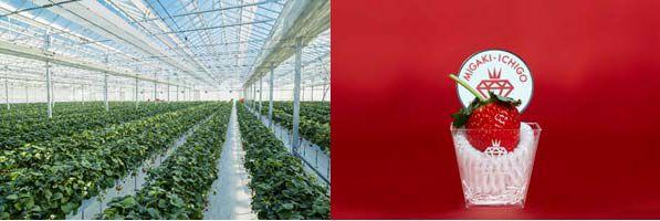 イチゴ植物工場のGRA、新規就農者に対する総合支援サービスを展開