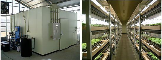 植物工場にて薬用植物「甘草(かんぞう)」を栽培、今後は量産技術の確立や薬効成分の抽出技術の研究を実施<三菱ケミカル・MKVドリーム>