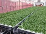 三菱樹脂、サラダほうれん草などの植物工場野菜「ヴェルデプラス」の本格販売開始