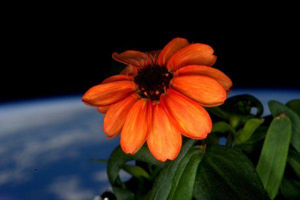 国際宇宙ステーション・植物工場にて初の食用花の栽培に成功