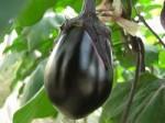 野菜茶業研など、在来品種からナスのゲノム解読・品種改良に貢献