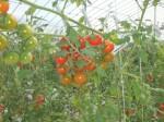 小田急グループ・神奈川中央交通による共同アグリ事業。植物工場による高糖度ミニトマト生産へ