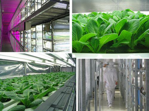 沖縄県内にて最大規模の完全人工光型植物工場による出荷がスタート。部屋ごとに栽培品目と温度帯を変えて生産(おおぎみファーム)