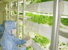 和食チェーンの大戸屋が自社生産のために大規模な完全人工光型植物工場を建設、ミズナなどの葉野菜を生産