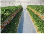 オリエンタルランド、ディズニー向けイチゴを北海道・ハウス高設栽培にて自社生産