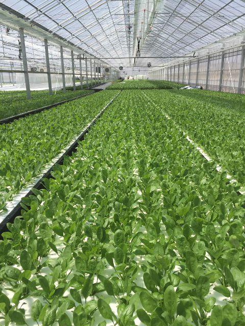 オリックスが太陽光利用型植物工場による水耕ホウレン草の生産へ。新法人を長野県八ヶ岳高原に設立