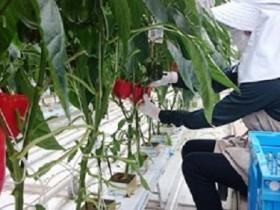豊田通商グループ、クリスマス需要に向けた太陽光利用型植物工場によるパプリカを出荷開始