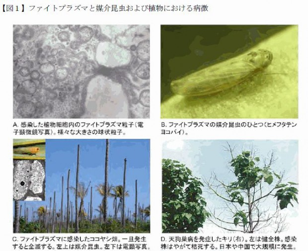 東大、1000種以上の植物に感染・枯死させるファイトプラズマ病を一網打尽に検出できる遺伝子診断キットを開発