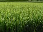 名古屋大学などの研究グループ、米粒大きくする遺伝子特定・収量大幅増に期待