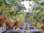 ローム 完全人工光型植物工場による一季成りイチゴの生産へ