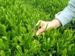 静岡の小柳津清一商店、摘みたて茶葉の天ぷらも味わえる!春の『新茶摘み体験ツアー』の予約開始