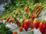 首都圏・最大規模の大型観光イチゴ園が越谷市にオープン