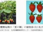 太陽光型植物工場でも周年栽培へ 新たな四季成り品種を開発